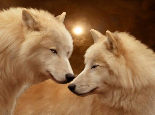 White Wolf And Black Wolf In Love loup